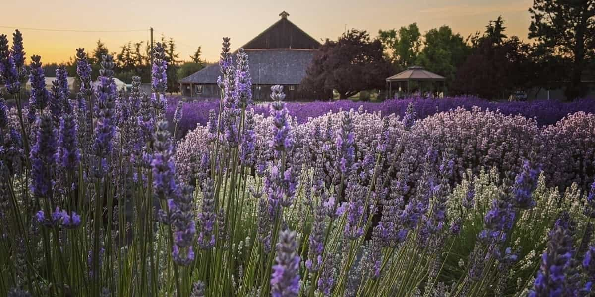 Multi-Colored Lavender Fields at sunset